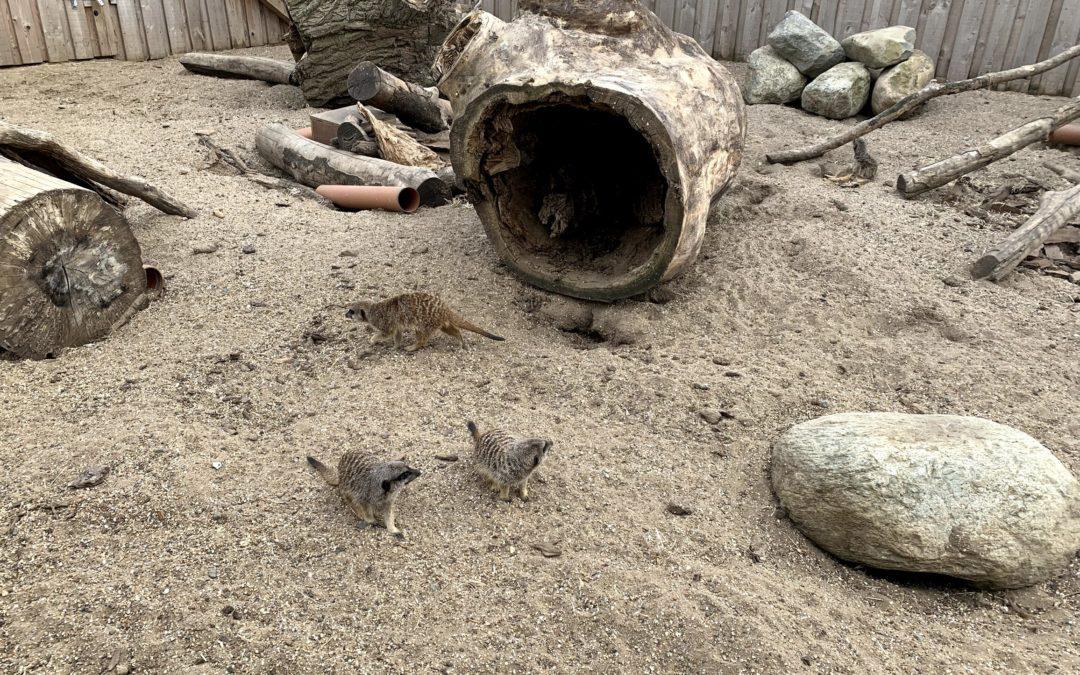 Meerkats run Wild